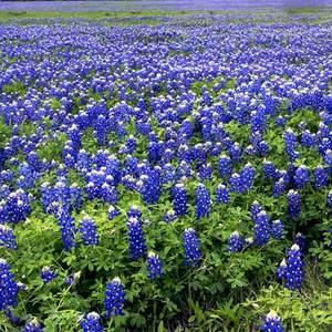 Texasbluebonnetsfield